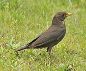 黑鶇〈雌〉:DSC_8959.JPG