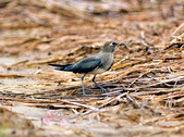 燕鴴 Large Indian Pratincole :DSC_2554.JPG