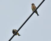 金翅雀  Oriental Greenfinch     :DSC_5340.JPG