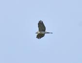 日本松雀鷹Japanese Lesser Sparrow Hawk  :DSC_6087.JPG