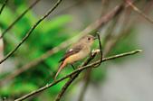 黃尾鴝 Daurian Redstart  :DSC_2290.JPG