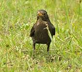 黑鶇〈雌〉:DSC_8960.JPG