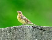 金鵐 Yellow-breasted Bunting  :DSC_6405.JPG