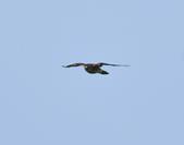 日本松雀鷹Japanese Lesser Sparrow Hawk  :DSC_6093.JPG