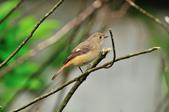 黃尾鴝 Daurian Redstart  :DSC_2292.JPG