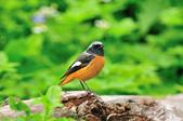 黃尾鴝 Daurian Redstart  :DSC_2468.JPG