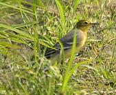 黃頭鶺鴒〈雌〉:DSC_9886.JPG