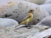金鵐 Yellow-breasted Bunting  :DSC_6791.JPG