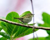 極北柳鶯Arctic Warbler   :DSC_3770.JPG