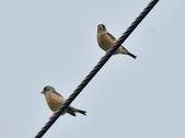 金翅雀  Oriental Greenfinch     :DSC_5342.JPG