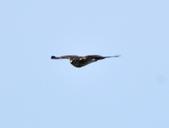 日本松雀鷹Japanese Lesser Sparrow Hawk  :DSC_6103.JPG