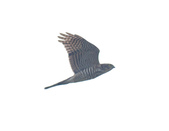 日本松雀鷹Japanese Lesser Sparrow Hawk :DSC_9172.JPG