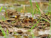 金翅雀  Oriental Greenfinch :DSC_0492.JPG
