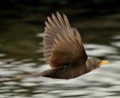 黑鶇〈雌〉:DSC_8979.JPG
