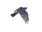 日本松雀鷹Japanese Lesser Sparrow Hawk :DSC_9186.JPG