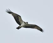 魚鷹 Osprey      :DSC_0446.JPG
