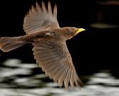 黑鶇〈雌〉:DSC_8980.JPG
