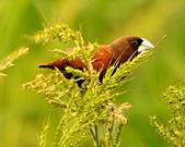 黑頭文鳥:DSC_5128.JPG