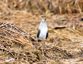 燕鴴 Large Indian Pratincole :DSC_2570.JPG