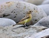金鵐 Yellow-breasted Bunting  :DSC_6794.JPG