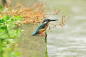 翠鳥  Common Kingfisher  :DSC_8507.JPG