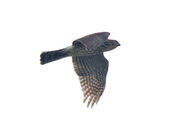日本松雀鷹Japanese Lesser Sparrow Hawk :DSC_9191.JPG