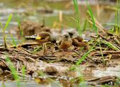金翅雀  Oriental Greenfinch :DSC_0500.JPG
