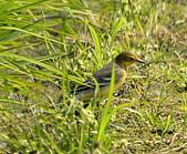 黃頭鶺鴒〈雌〉:DSC_9887.JPG