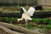 白鶴  Siberian Crane :DSC_0032.JPG