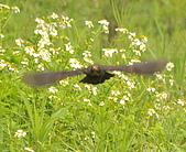 黑鶇〈雌〉:DSC_8987.JPG