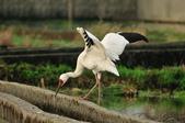 白鶴  Siberian Crane :DSC_0038.JPG
