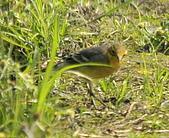 黃頭鶺鴒〈雌〉:DSC_9888.JPG