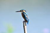 翠鳥  Common Kingfisher  :DSC_2457.JPG