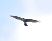 日本松雀鷹Japanese Lesser Sparrow Hawk :DSC_9176.JPG