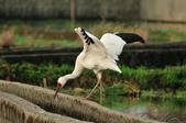 白鶴  Siberian Crane :DSC_0040.JPG