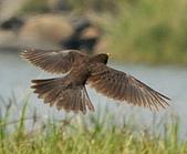 黑鶇〈雌〉:DSC_8496.JPG
