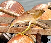 黃小鷺:DSC_4907.JPG