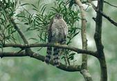 北雀鷹  Northern Sparrow Hawk :DSC_1454.JPG