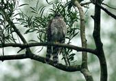 北雀鷹  Northern Sparrow Hawk :DSC_1469.JPG