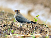 燕鴴 Large Indian Pratincole :DSC_2587.JPG