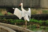 白鶴  Siberian Crane :DSC_0046.JPG