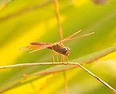 蜻蜓:DSC_8492.JPG