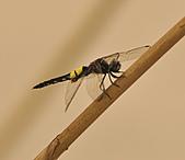 蜻蜓:DSC_9217.JPG