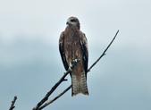老鷹   Black kite :DSC_1406.JPG