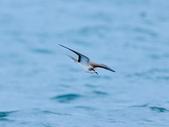 白眉燕鷗Bridled Tern :DSC_0409.JPG