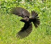 黑鶇〈雌〉:DSC_8705.JPG