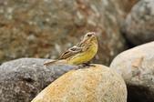 金鵐 Yellow-breasted Bunting  :DSC_7209.JPG