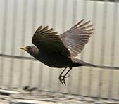 黑鶇〈雌〉:DSC_8709.JPG