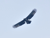 大冠鷲 Crested Serpent Eagle :DSC_1867.JPG