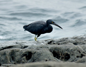 岩鷺  Pacific Reef Egret    :DSC_2076.JPG